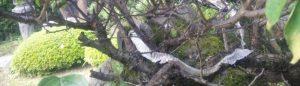 我が家の庭の梅の小枝に蛇の抜け殻