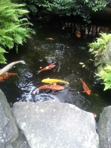 福岡天神の水鏡神社の池の鯉