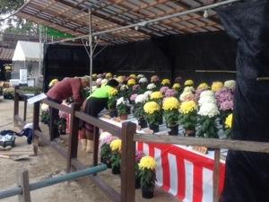 菊花展の準備中