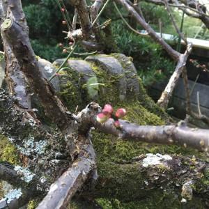 立春の庭の梅