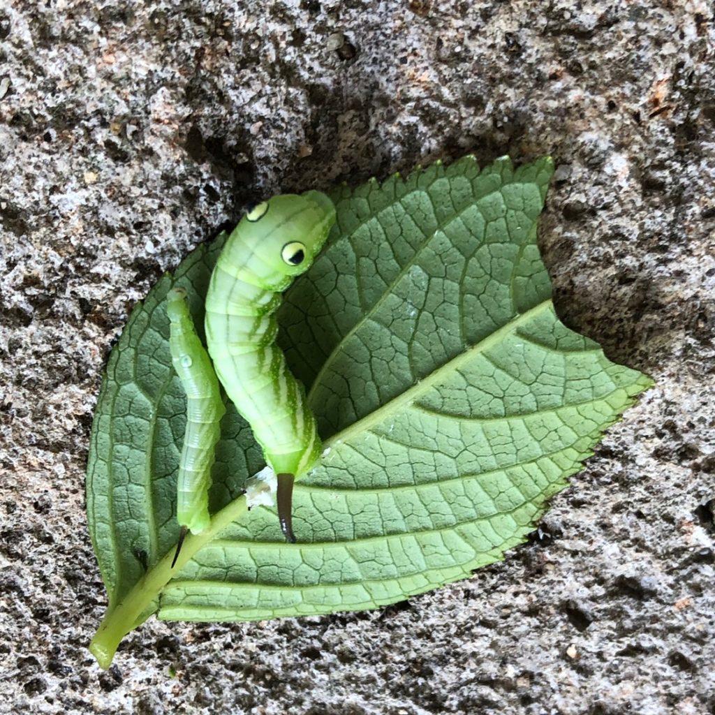 エビガラスズメガの幼虫