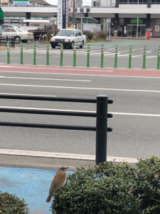 大牟田駅近くで見たヒヨ